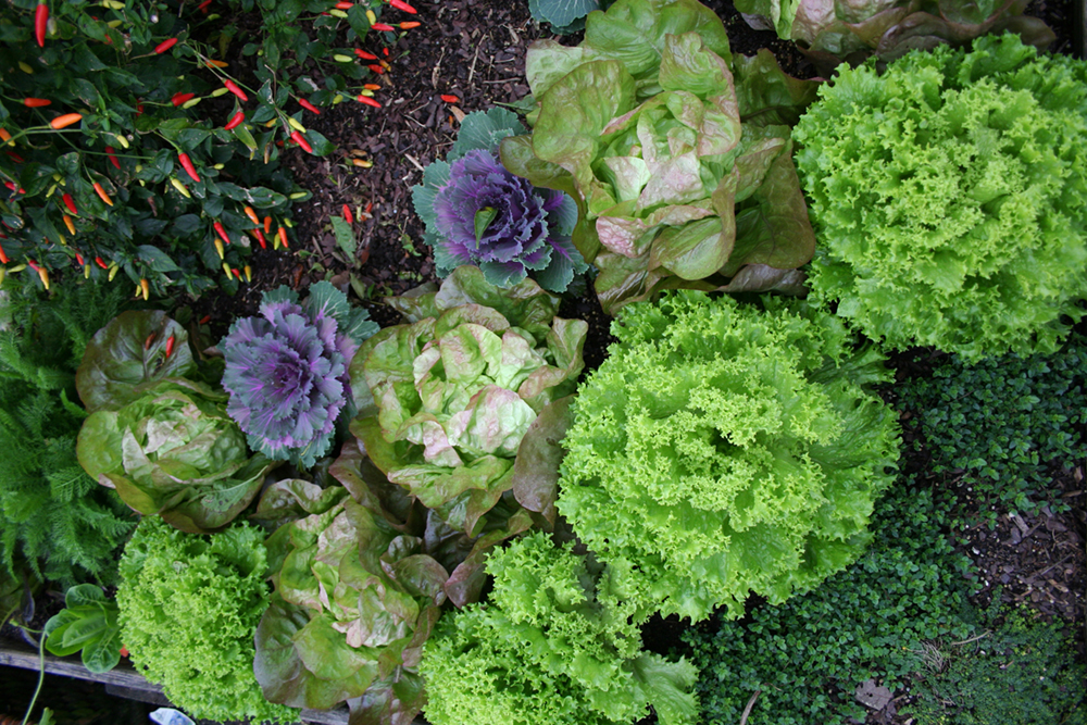 edible landscaping  ornamental plants you can eat