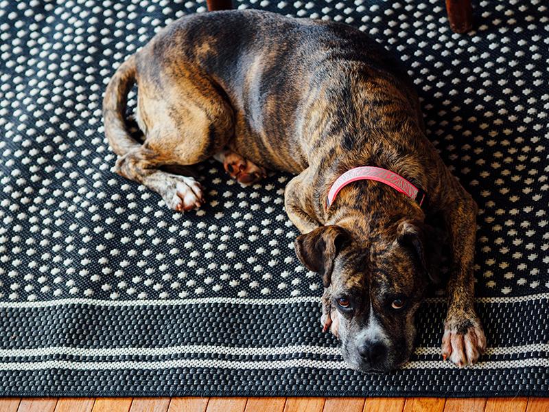Dog lying on a rug.