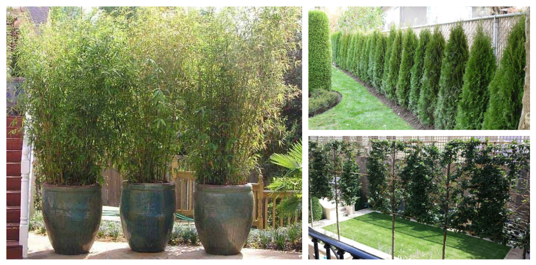 how to create a privacy wall with trees
