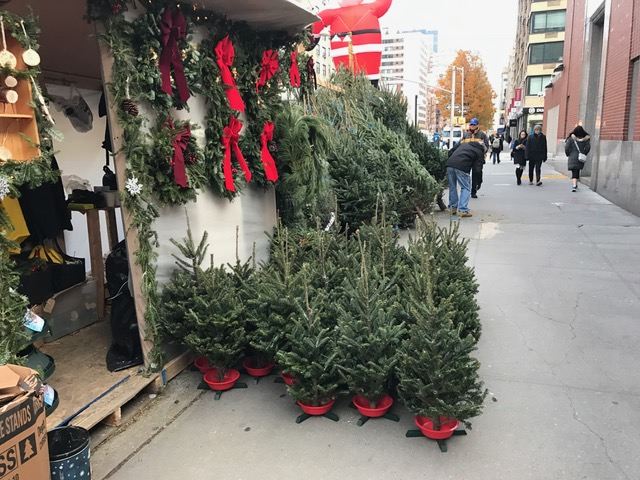 these trees on corner of w 18th and 7 ave are about 3 feet high - Type Of Christmas Trees