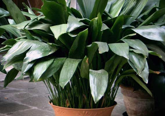 Cast Iron Plants : Indoor plants your apartment won t kill streeteasy
