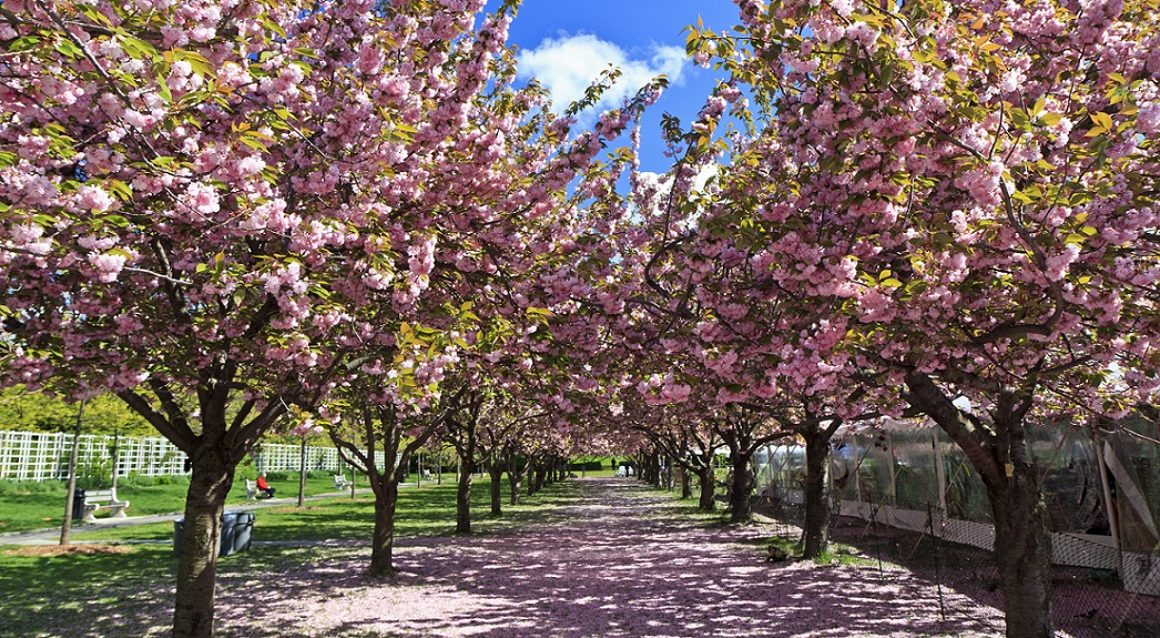 Pretty In Pink Track Blooms For Brooklyn S Cherry Blossom Festival