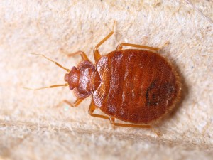Don't worry - bedbugs aren't this big.