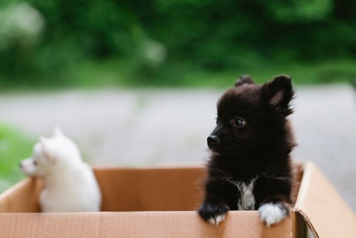 puppies in moving box