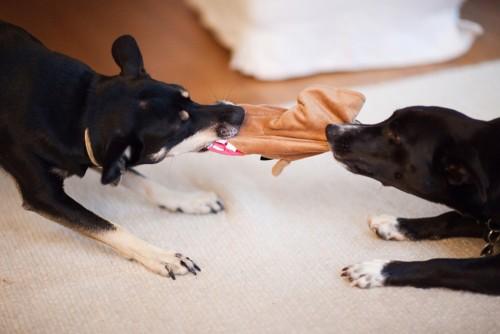 puppies playing tug-of-war